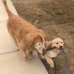 """caozinho guia 150x150 - Cãozinho idoso e cego faz amizade com filhote que vira seu """"cão-guia"""""""
