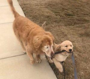 """caozinho guia 300x262 - Cãozinho idoso e cego faz amizade com filhote que vira seu """"cão-guia"""""""